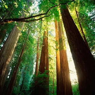 Redwood Forest Santa Cruz CA